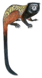 New Tamarin Monkey Species Found in Amazon
